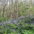 Wivenhoe Woods in the Bluebell Season, April 2014