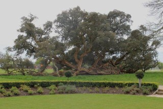 The Cork Oak at Wivenhoe Park probably planted over 100 years ago. | Photo by Tony Forsgate