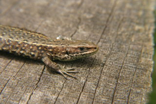 Common lizard which were moved from Cooks Shipyard before development started | Photo by Chris Gibson